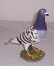 Best of Breed Racing Pigeon Blue Bar
